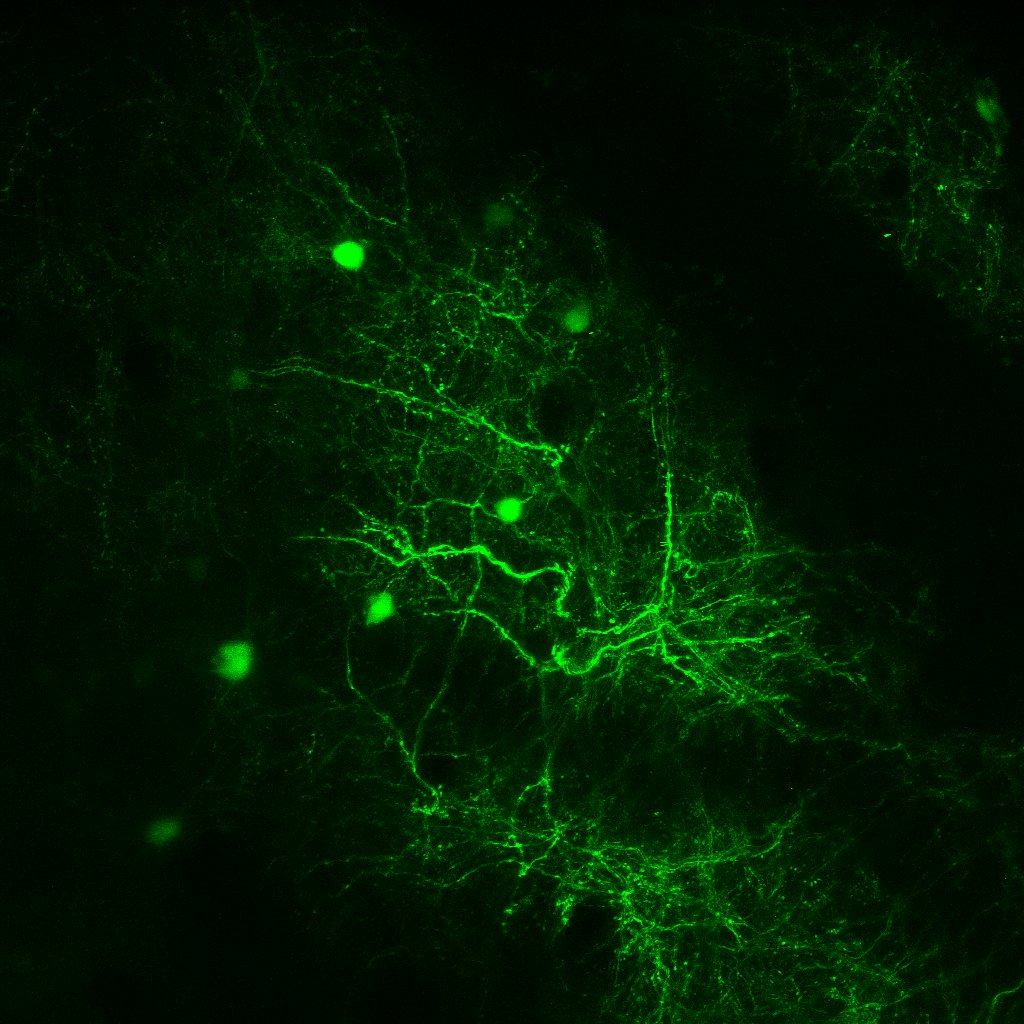Z-stack taken in vivo 58 um max projection of layer 2/3 neurons.